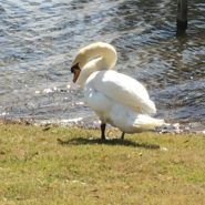 George the Swan #2